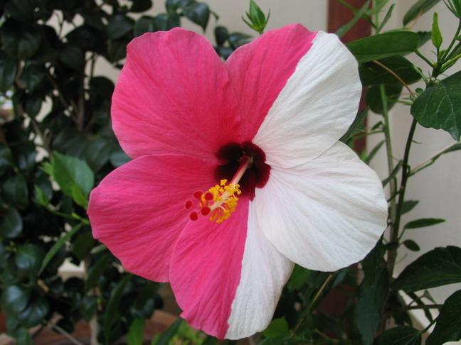 Lieblings Mein Hibiskus blüht immer nur 1 Tag :-((   Haus & Garten Forum &AB_23