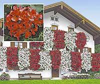 Super Suche diese tollen Hänge- Geranien | Haus & Garten Forum | Chefkoch.de SH23