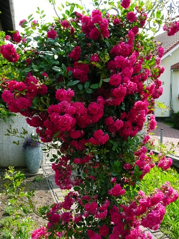 юности плетистая роза кримсон рамблер фото конструкция позволяет производить