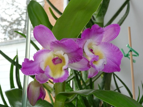 Ableger Orchidee 4197305295