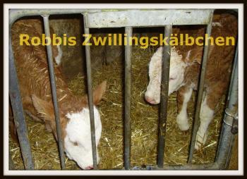 Kuh Robbis Zwillingskälbchen geboren am 11.1.09