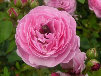 Rosenblüte mit Rosenkäfer