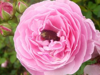 Rosenblüte mit Rosenkäfer groß