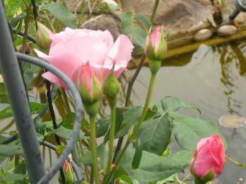 Meine Rose 2011 II