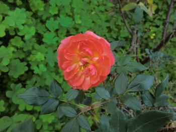 6. 1. 2013   ---  die ersten Rosen blühen schon wieder