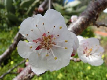 22. 3. 2016 die Aprikosen blühen